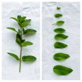 mint-leaves-collage-2
