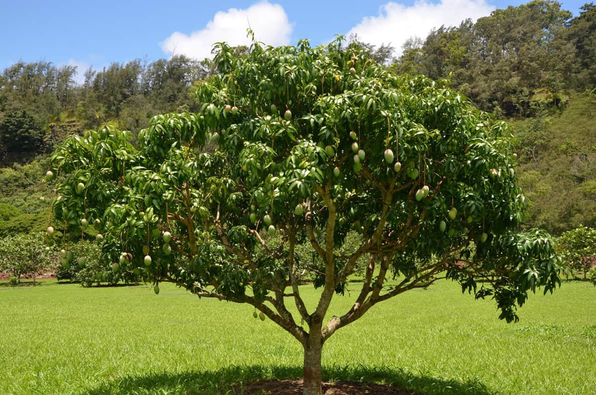 mangifera-indica13